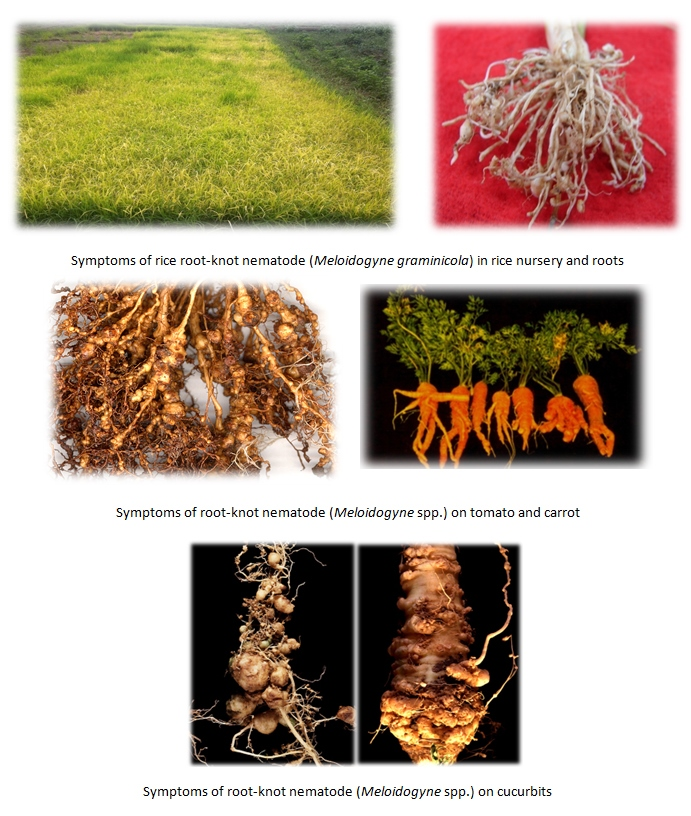 Symptoms of root-knot nematode