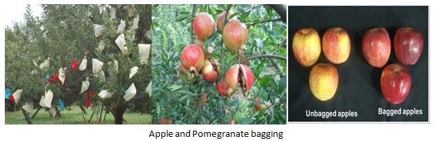 Apple and Pomegranate Bagging