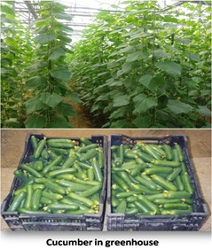 Evaluation of parthenocarpic cucumber