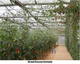 Capsicum with plastics mulch under different protected structures