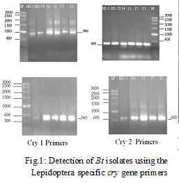 Detection of Bt isolates using the Lepidoptera specify cry gene primers
