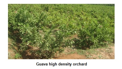 Guava high density orchard