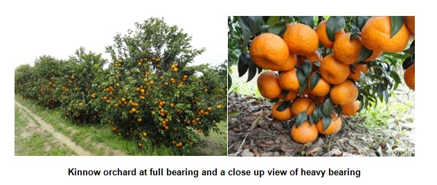 Kinnow orchard at full bearing and a close up view of heavy bearing