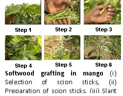 Softwood grafting in mango