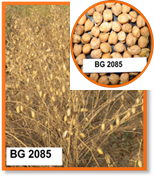 Pusa 2085: A Large seeded kabuli chickpea variety Pusa 2085