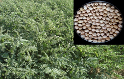 Green seeded chickpea variety 'Pusa Green 112'