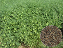 High grain iron and zinc lentil line L 4704 registered with NBPGR
