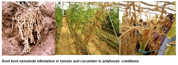 Root knot nematode infestation in tomato and cucumber in polyhouse conditions
